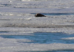 Ringed Seal on pack ice