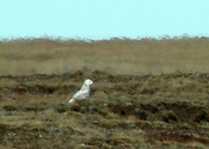 Snowy Owl in summer plumage