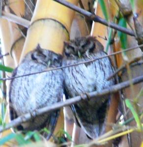 Tropical Screech Owls