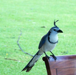 White=throated Magpie-Jay