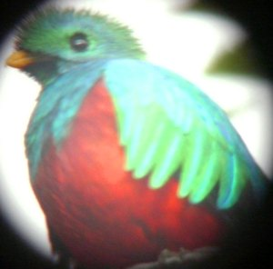 Digiscoped Resplendent Quetzal
