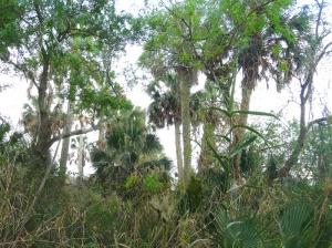 Sabal-Palms-2