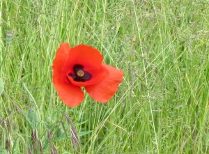 roadside poppy