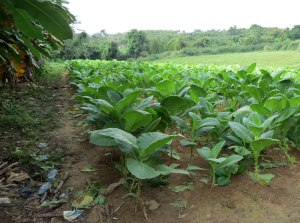 CU-tobacco-farm-plants-12-9