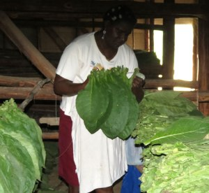 CU-tobacco-farm-worker