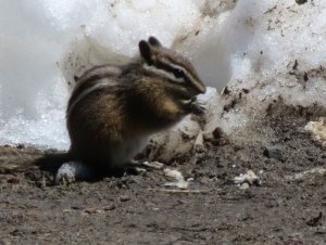 WA-ground-squirrel