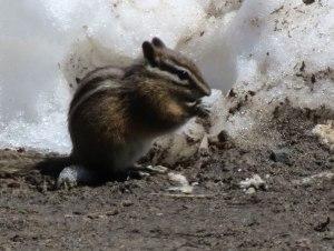 WA-ground-squirrel