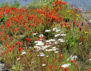 WA-Mt-St-Helens-wildflowers