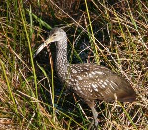 FL Everglades---Limpkin