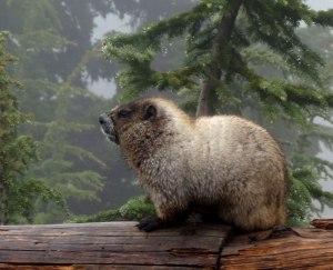 WA-Mt.-Rainier-Marmot