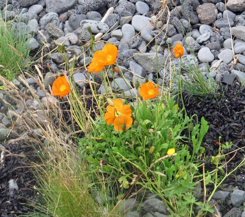 Iceland-poppy-7-19-19